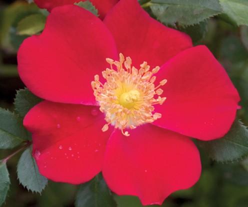 'Oso Easy' Cherry Pie Rose