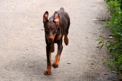Cycling with your Dobermann (Or any medium/large breed dog really)