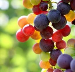 Canada Grapes, copyright www.fruitandveggie.com
