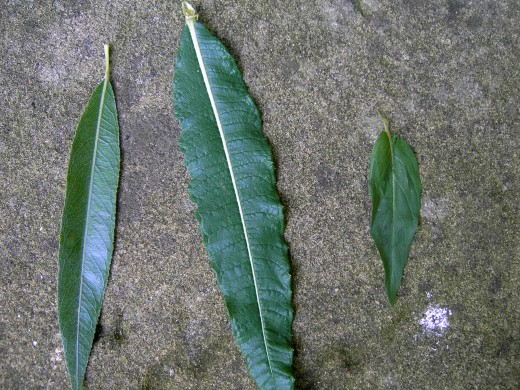 The leaf on the left is from a weeping willow. The center leaf is rosebay willow-herb note the promineent midrib vein.On the right is the leaf from broad leaved willowherb. Photograph by D.A.L.