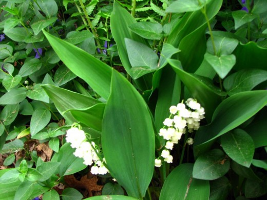 Lily-of-the-Valley and Vinca
