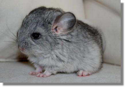 Cute baby chinchilla