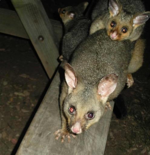 Mrs Possum and her kids
