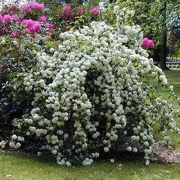A white Viburnum shrub in bloom