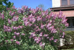 Lilac shrubs can be used to make a natural and beautiful fence.