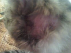His Abscess, notice swelled, red, with hair loss.