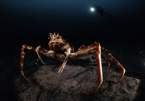 As if bathed in moonlight, a giant spider crab (Macrocheira kaemferi) is illuminated by a diver's lamp in Japan's Izu Oceanic Park. Protected from some predators by its hard exoskeleton, the creature—which can grow to ten feet (three meters) wide—can