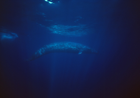 Blending in with its ocean environment, a blue whale calf (Balaenoptera musculus) looms like a submarine off the coast of Sri Lanka. At a mere 45 feet (14 meters) long, it's at risk of being killed by killer whales and large sharks.