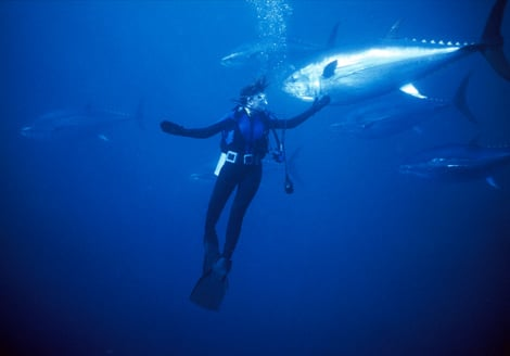 The silvery magnificence of Atlantic bluefin tuna (Thunnus thynnus) swims past a diver in Japan's Tokyo Sea Life Park. The fish's belly meat is prized as the finest sushi in the world;one fish can easily sell for tens of thousands of dollars on the w
