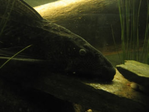 Common Plecostamus  Algae Eater Extrodinare!