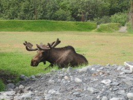 First Moose Sighting--When all Else Fails, Travel to a Park!