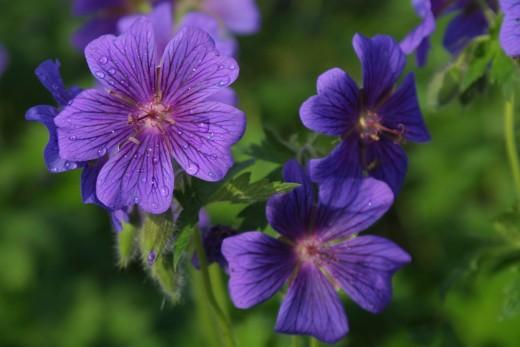 Lovely purple flowers in the garden