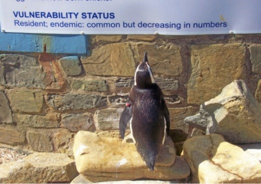 An educated penguin at the East London aquarium reads about itself. Photo by Teresa Schultz.