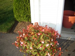 A small pot of Begonias needs some height