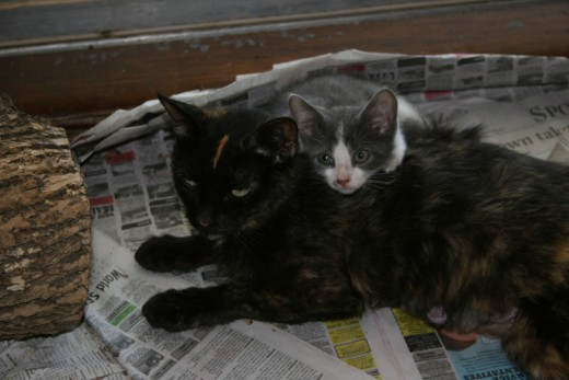Emma - a rescued mother cat with 3 kittens, and Adrian who was saved from a local business where she had been abandoned at less than 5 weeks old.  Emma immediately began to allow to nurse.  Such a loving adoptive mom.