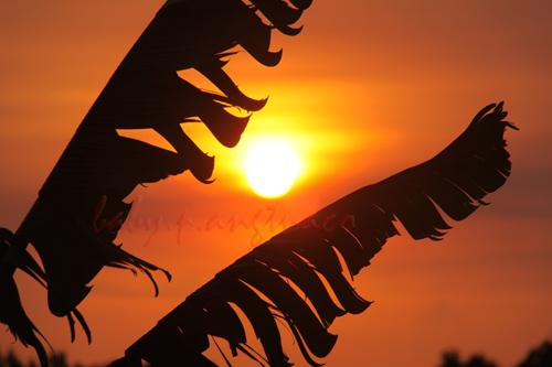 banana leaves framing the sun