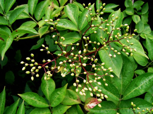 These green berries of the elder tree will turn a deep purple-black before dispersing the seeds.Photograph by D.A.L.