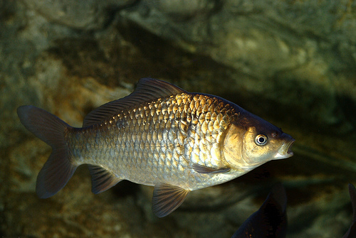 All of today's goldfish are descendants from the Crucian carp, or Carassius carassius