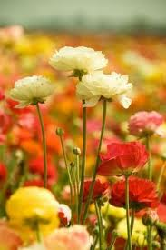 Carlsbad Flower Fields, californiatouristguide.com