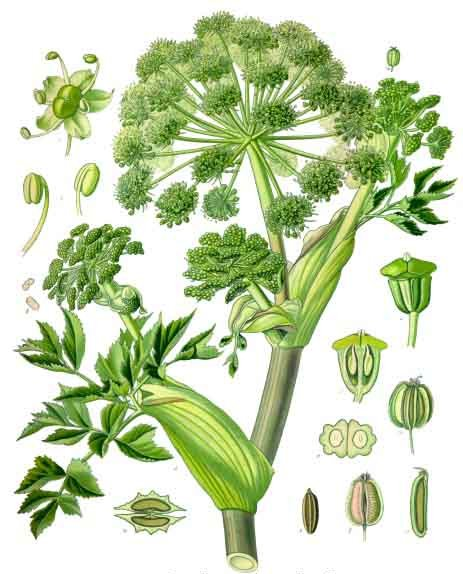 Components of the Garden angelica.