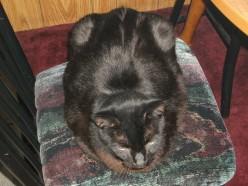 Satin -My Big black tolerant cat