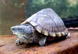 Best Beginner Pet Turtle and Tortoise