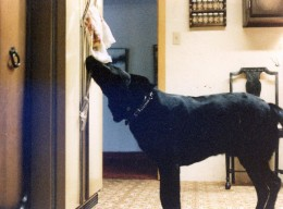 Duke goes to the fridge