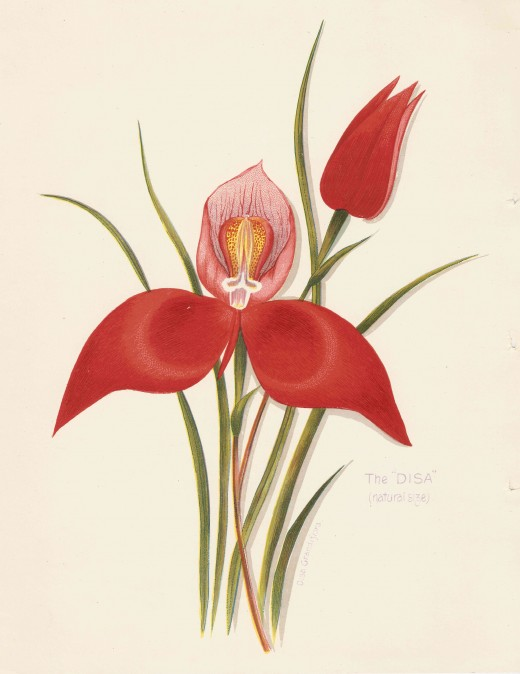 "An iconic fynbos flower - the Disa. Image from Arthur Vine Hall's ""Table Mountain"" (Juta, c 1897)"