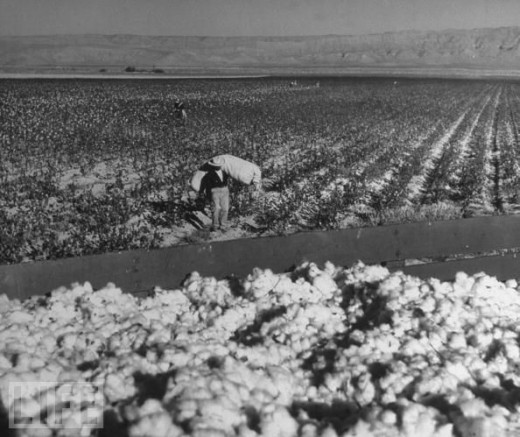 Typical Cotton Field. No Toilets, No Water. No Breaks. Sun-up to Sun-down...