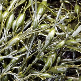 sea kelp for fertilizer