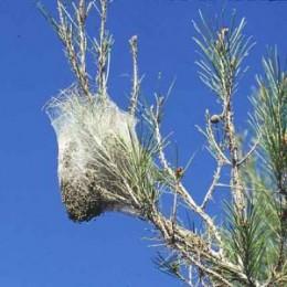 Processional Caterpillar nest