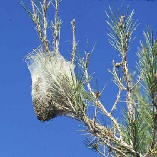 Processional Caterpillar nest