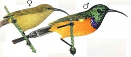 "Orange breated sunbird. From Kenneth Newman's ""Birds of Southern Africa"", SAPPI, 2007"