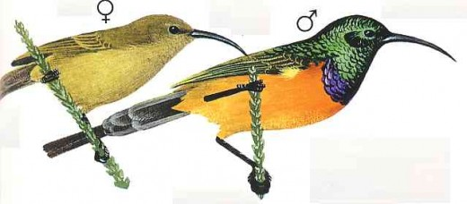 """Orange breated sunbird. From Kenneth Newman's """"Birds of Southern Africa"""", SAPPI, 2007"""
