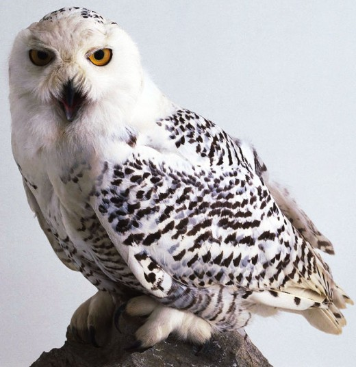 Snowy Owl. Variety of Owl photos you may use on your website at http://www.owl-pictures.com