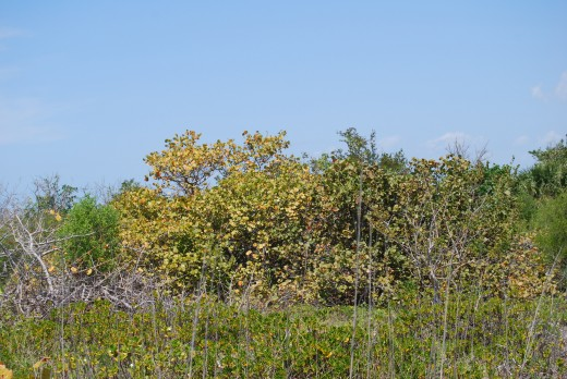 Some of the island has the original mangroves and other exotic plants.
