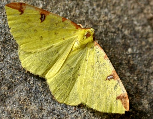 The brimstone moth is associated with hedgerows. Photograph courtesy of Jeffdelonge wikipedia.