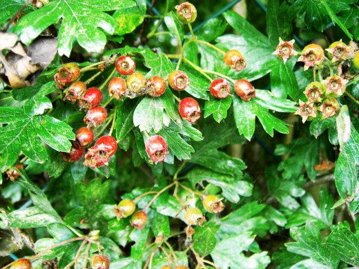 The Haws the fruit of the hawthorn are turning nicely, soon they will be gorged upon by a diverse number of creatures. Photograph by D.A.L.