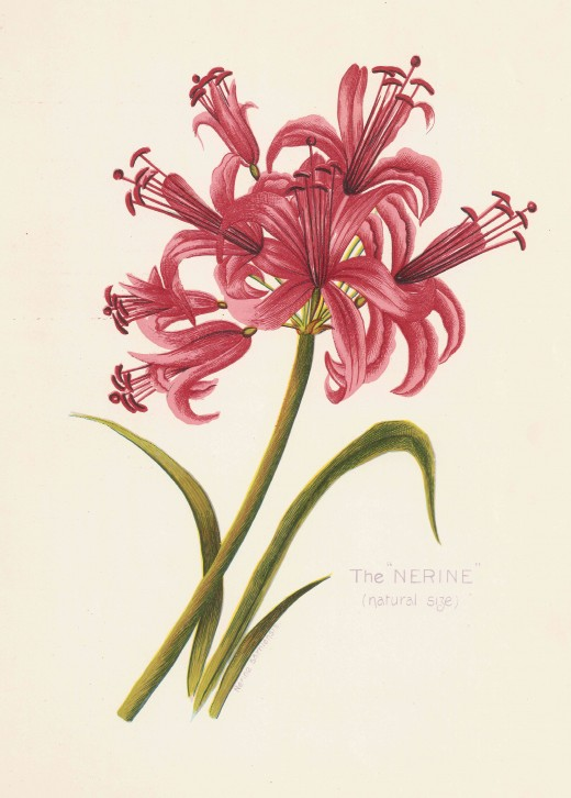 "The Nerine. From Arthur Vine Hall: ""Table Mountain"""