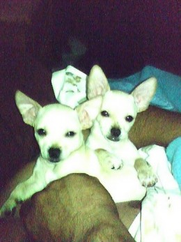 Kawisaki and Kamakazi are half applehead and half deer chihuahuas. They are twin brothers.