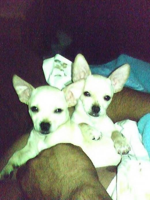 Kawisaki and Kamakazi are half applehead and half deer chihuahuas. They are twin brothers.