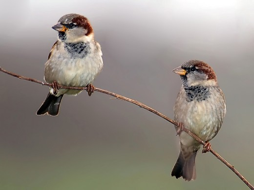 Two Sparrows on a Twig, copyrighted, from Pixdaus.com