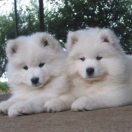 Yet another picture of Samoyed puppies. Doubling the pleasure for the sake of this literary piece.