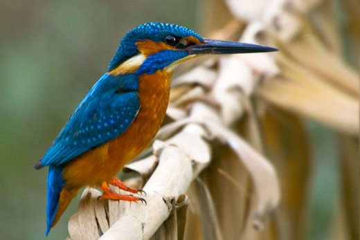 Kingfisher, from Pixdaus.com