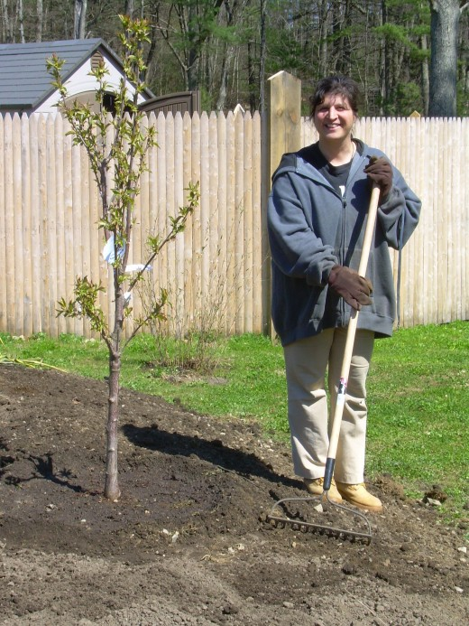 I have my gardening gloves on, raking loam around a newly planted cherry tree for my cohousing community, Mosaic Commons in Berlin, MA.