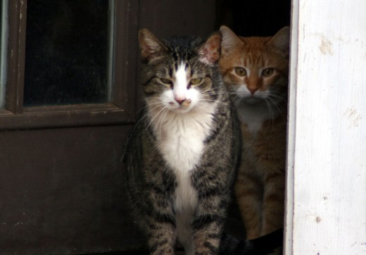 One of our Leukemia + cats, Barney showed up in our old pole barn.  We enticed him into our  home and now he shares a cottage with 3 roomies, BobCat, Handsome and Baddy.