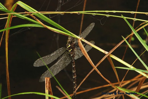 A dragon fly waits for the sun to dry its dew-covered wings while resting at the creek in the morning.