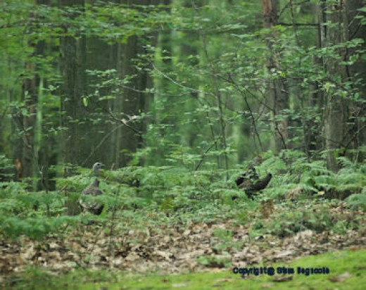 Turkeys scamper into the woods this morning after I inadvertently frightened them without knowing they were there.