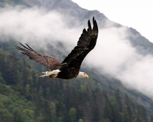 Flying Bald Eagle, from foopets.com
