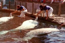 Beluga whales performing